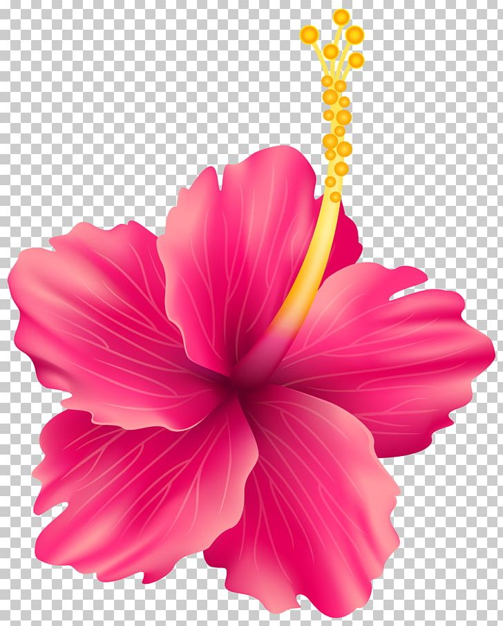 Hibiscus clipart rose china. Flower png annual plant
