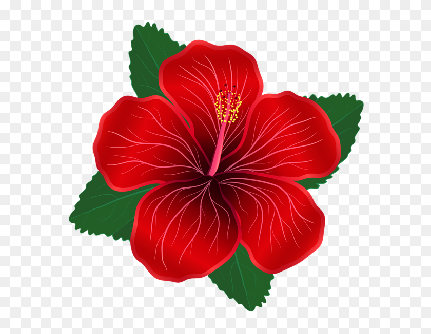 Flowering plant chinese flower. Hibiscus clipart rose china