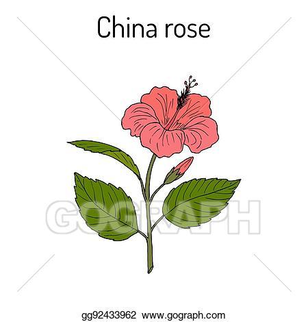 Hibiscus clipart rose china. Clip art vector rosa