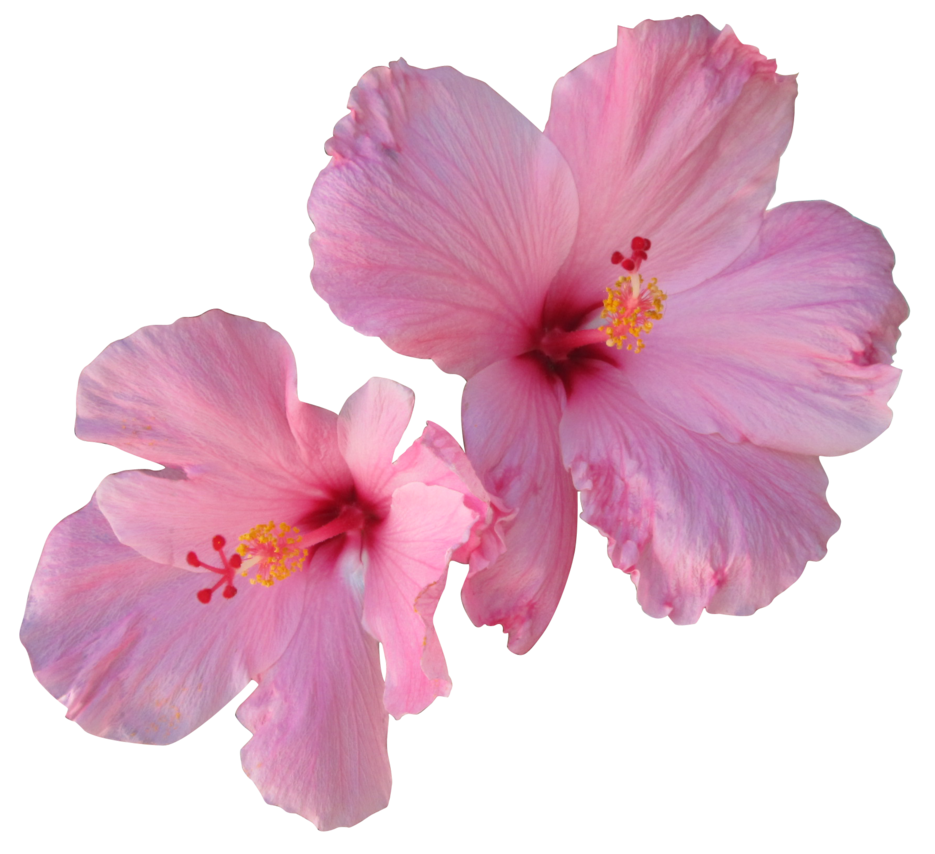 Hibiscus clipart transparent background. Png images free download