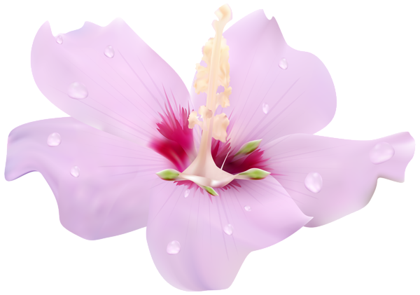 Pink transparent clip art. Hibiscus flower png