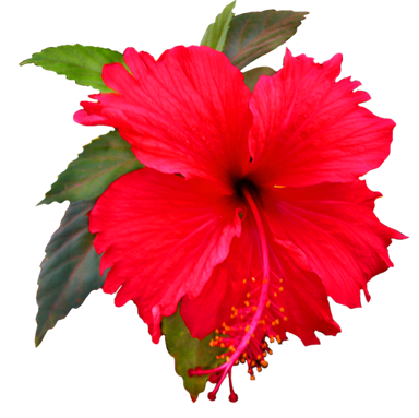 Beautiful red trans back. Hibiscus flower png