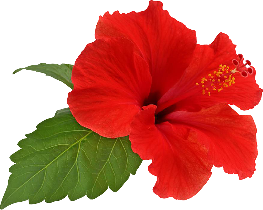 Hibiscus flower png.  for free download