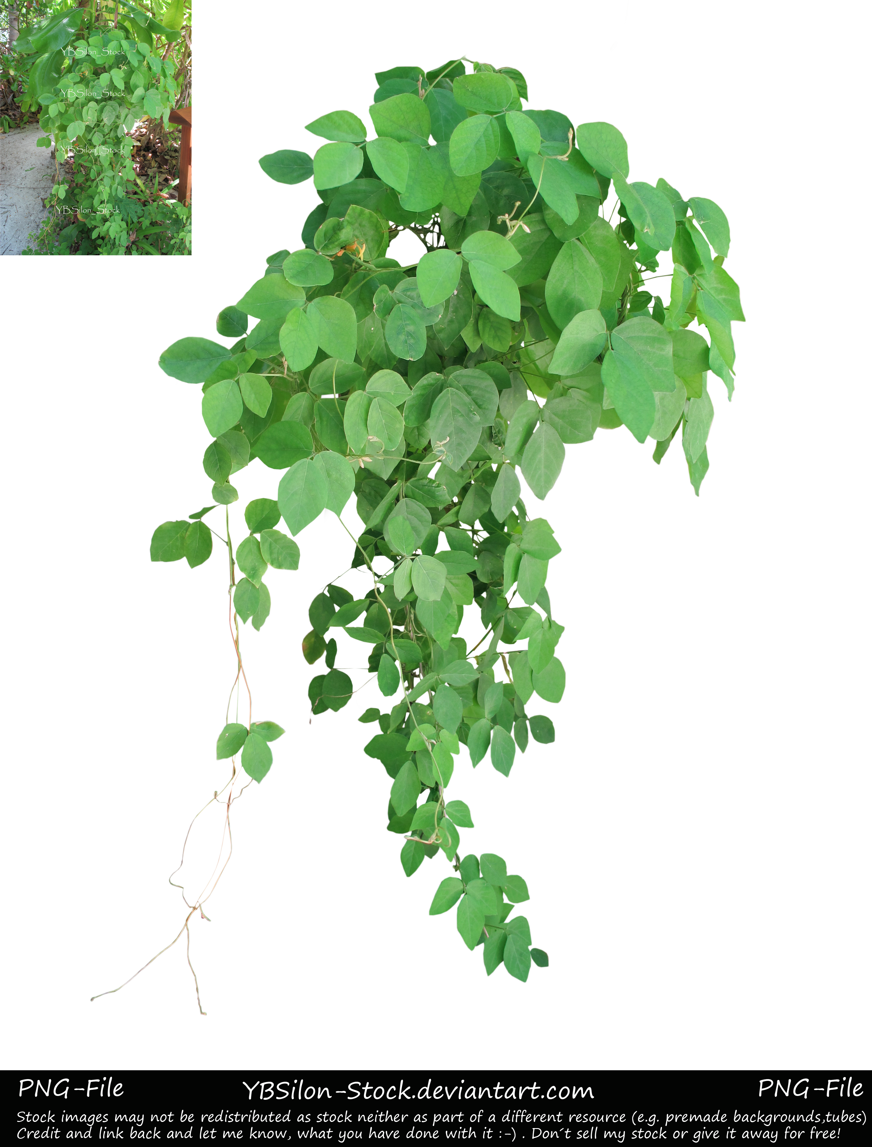 Ivy clipart squash vine. Exotic tendril ii by