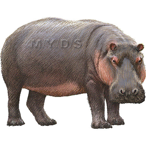Panda free . Hippo clipart hippopotamus