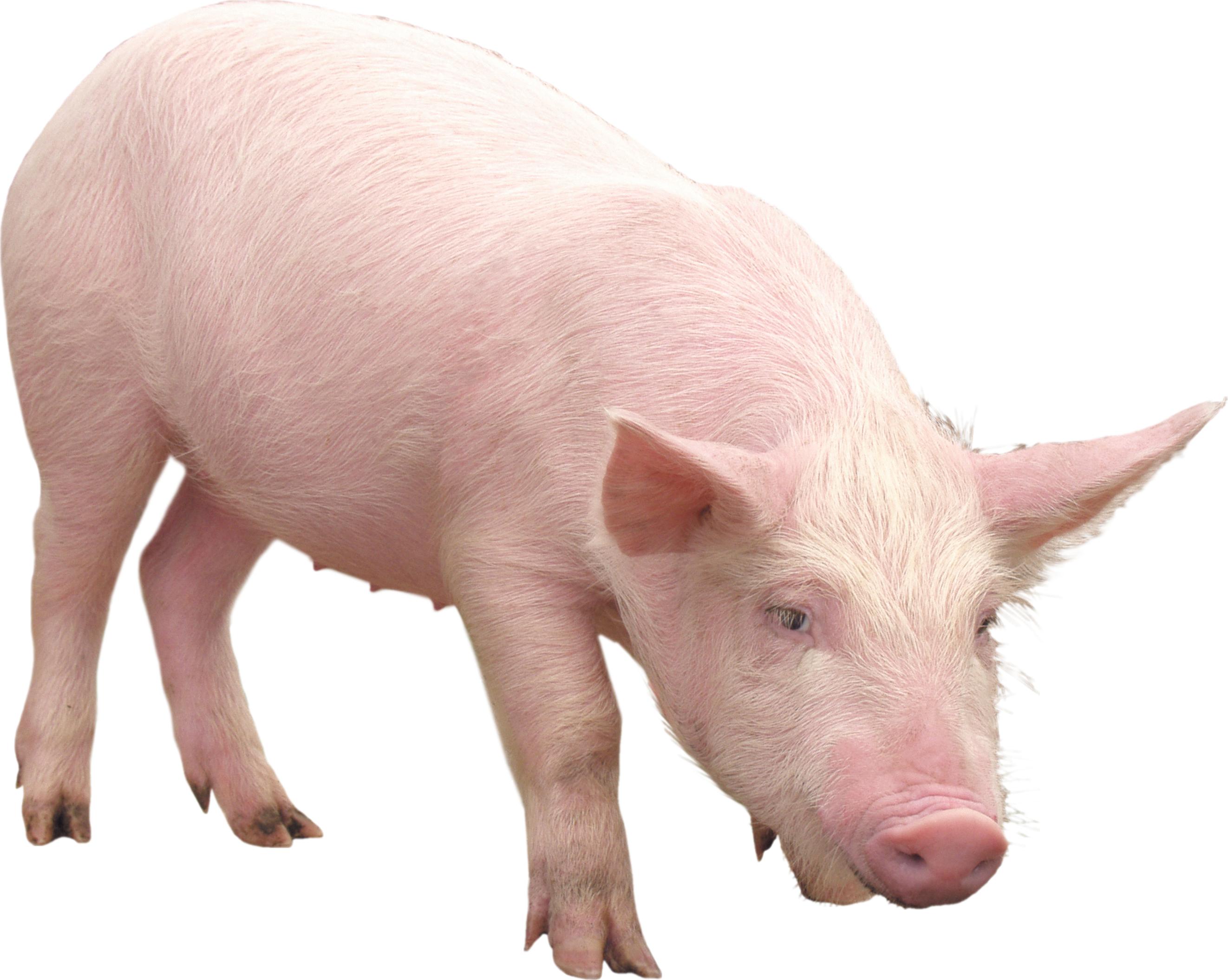 Pig clipart fetal pig. Png transparent free images