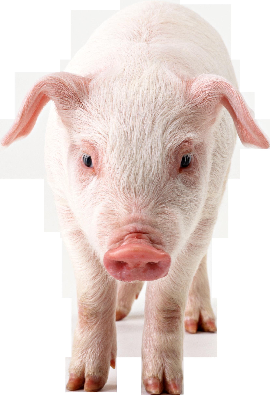 Hog clipart transparent background.  b ad efb