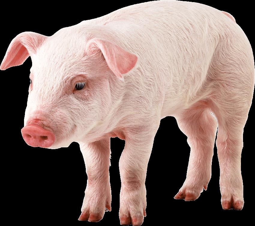 Pig png images pngio. Hog clipart transparent background