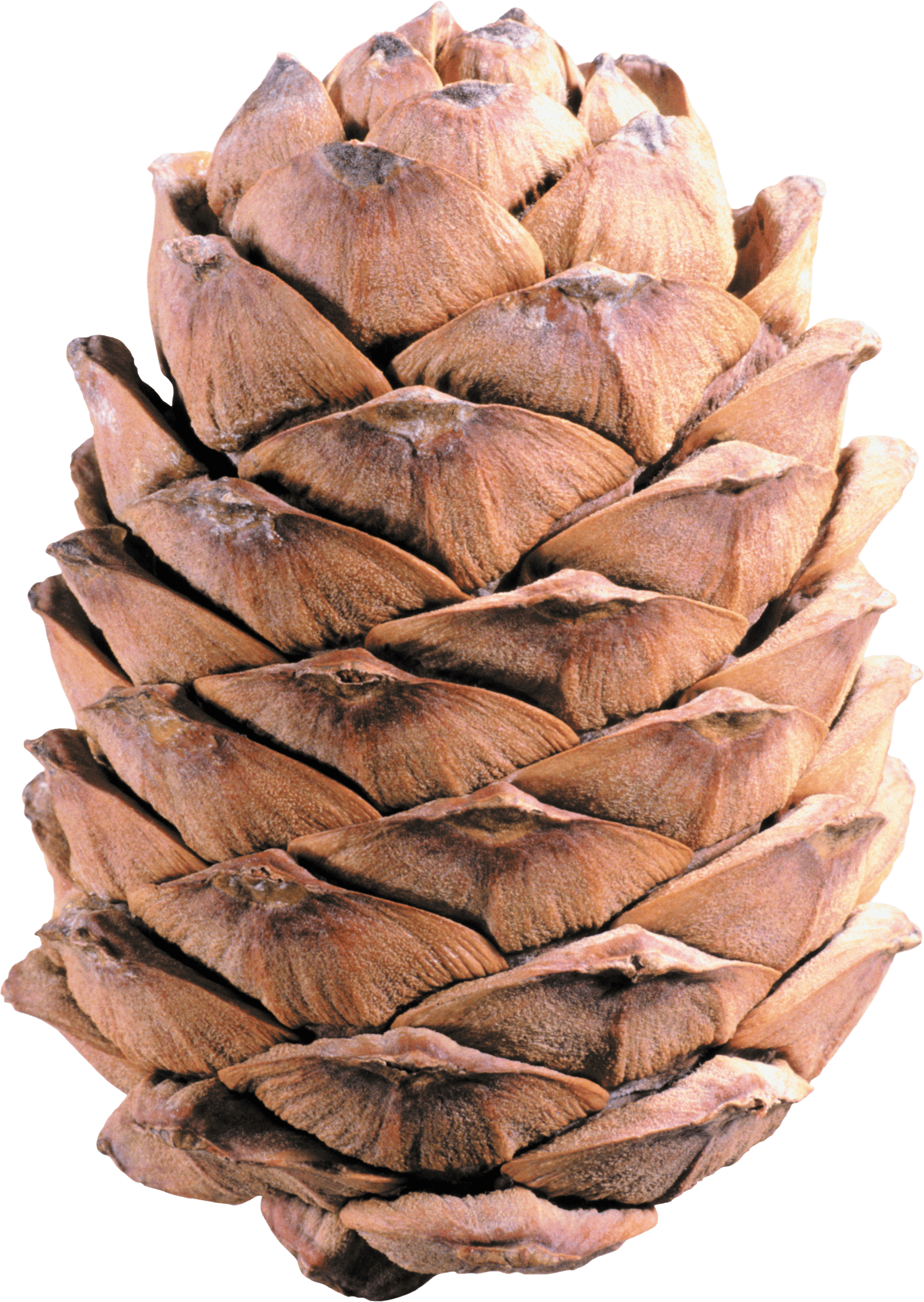 Group pine cone transparent. Holidays clipart pinecone