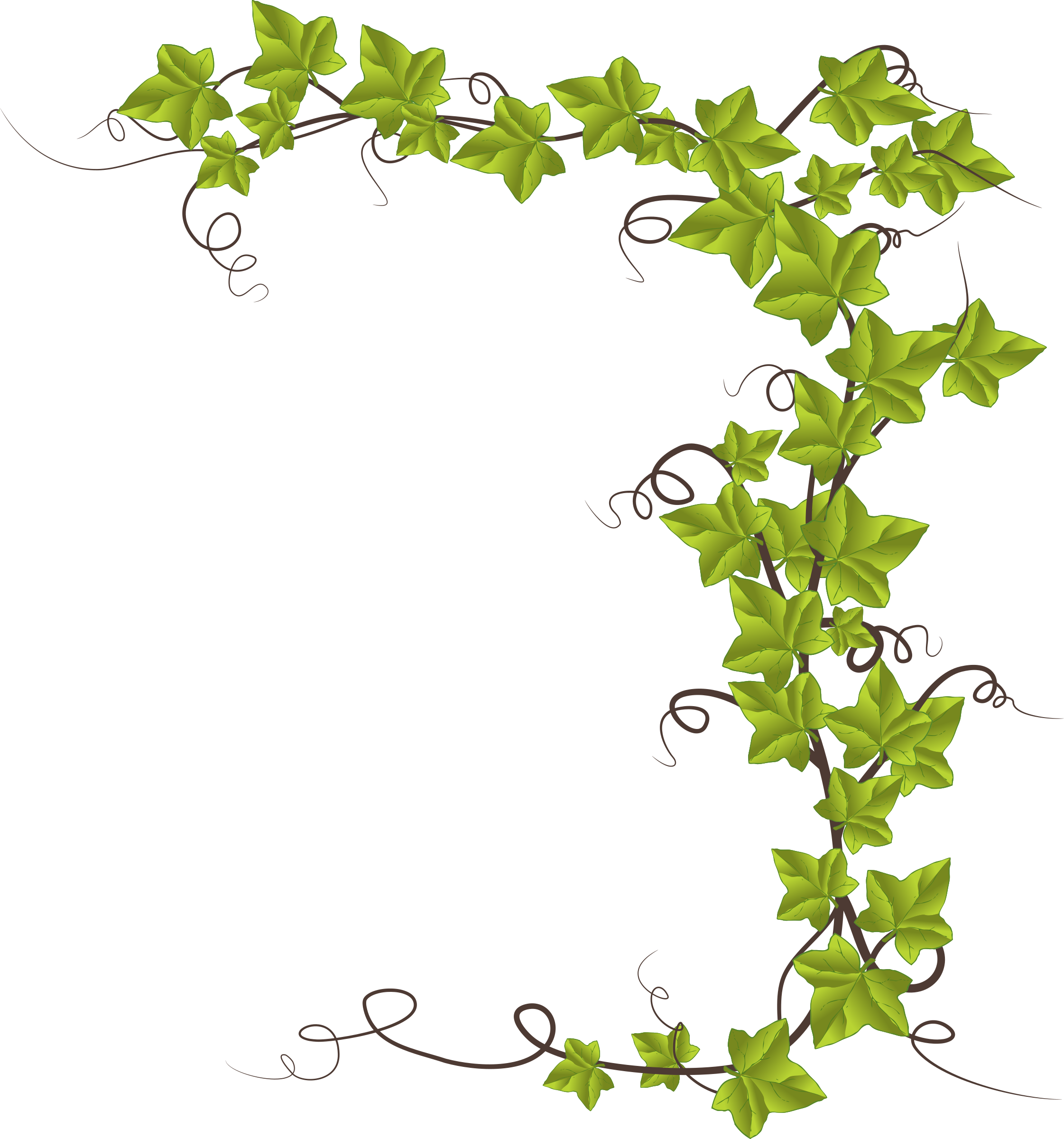 vines clipart english ivy