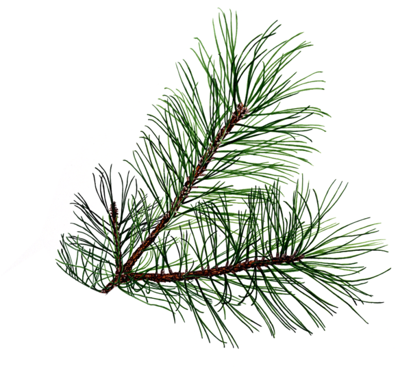 Holly clipart boughs. Pine branch free images