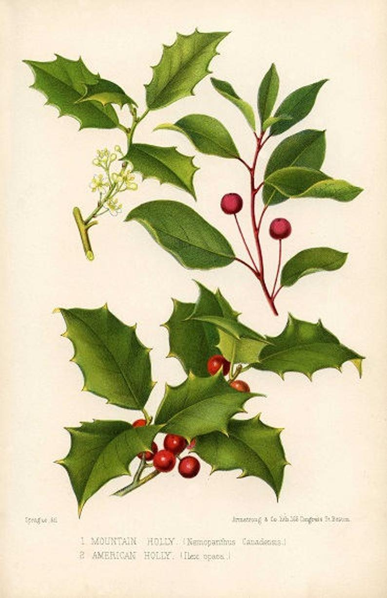Printable vintage christmas wall. Holly clipart holly branch