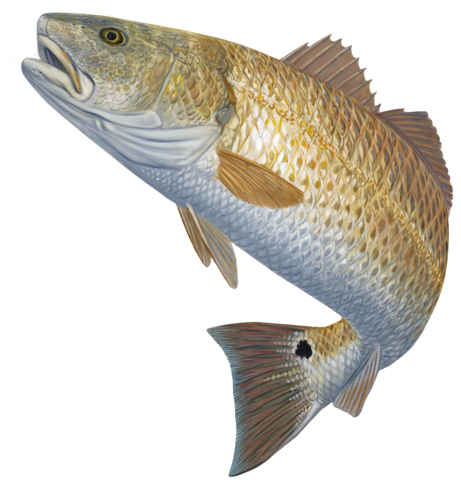 Redfish decal red hot. Trout clipart spotted bass