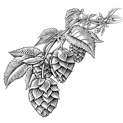 Hops clipart sketch. Pin on beer