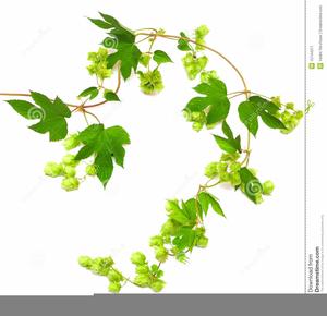 Free images at clker. Hops clipart vine
