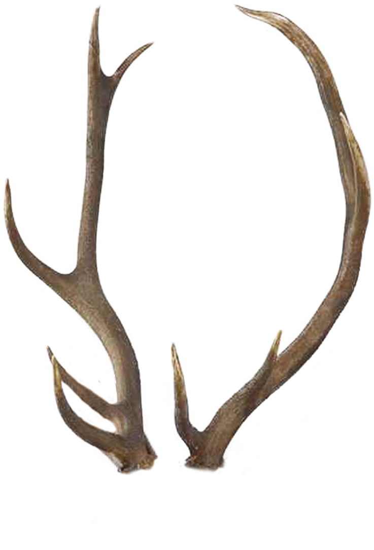 horns by tigers. Horn clipart antler