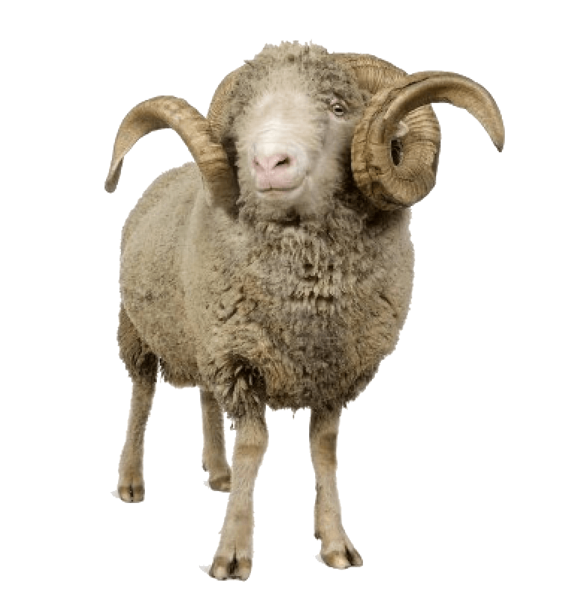 Sheep with horns transparent. Horn clipart mother goat
