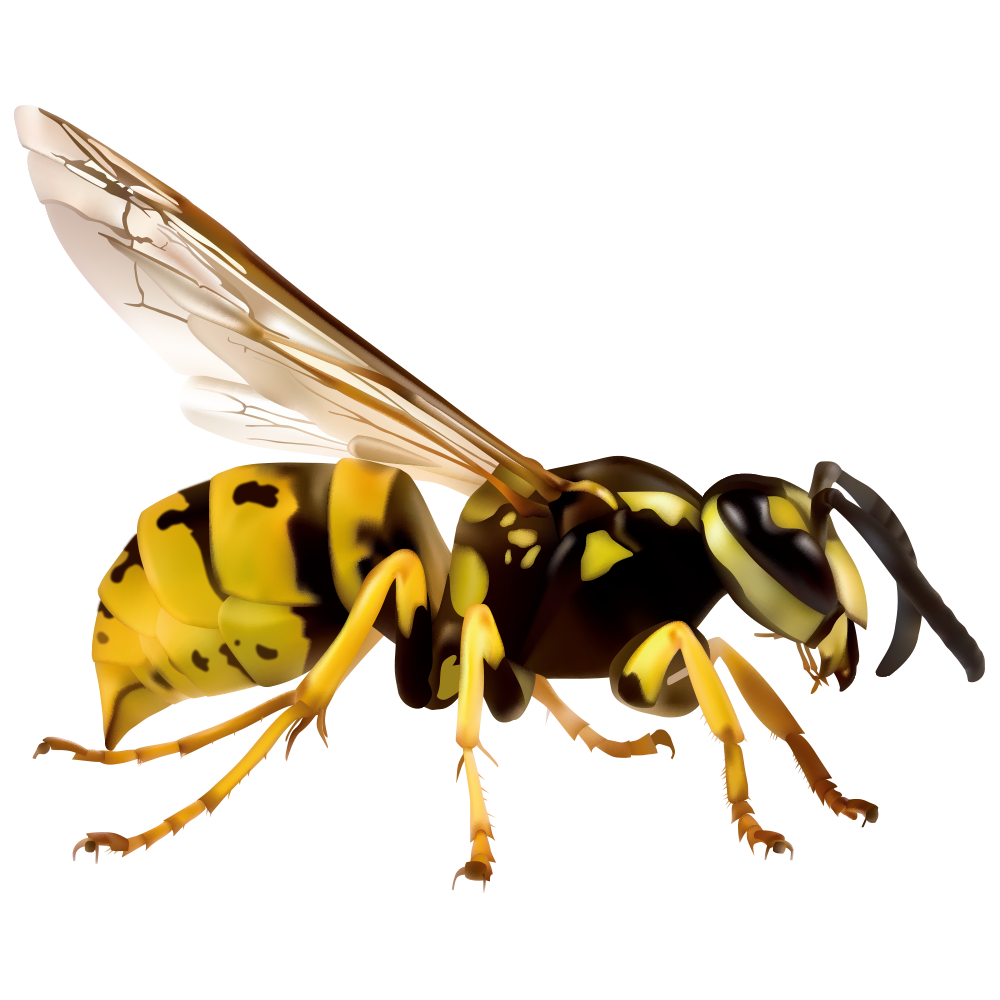 Japanese giant european vespa. Insect clipart hornet