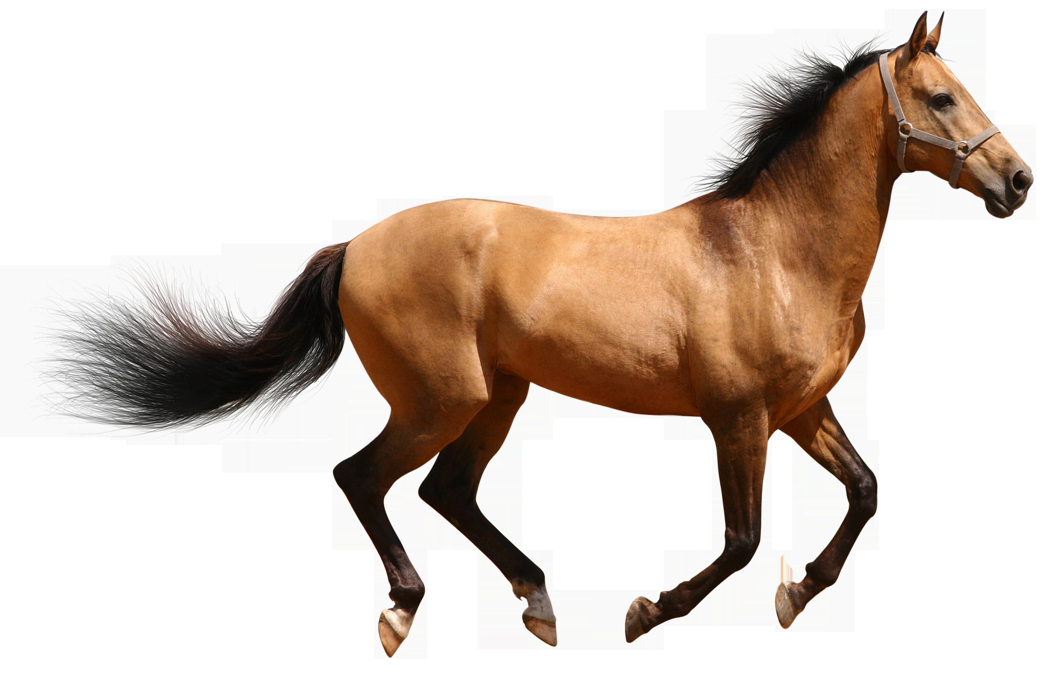 Hq png transparent images. Horse clipart front