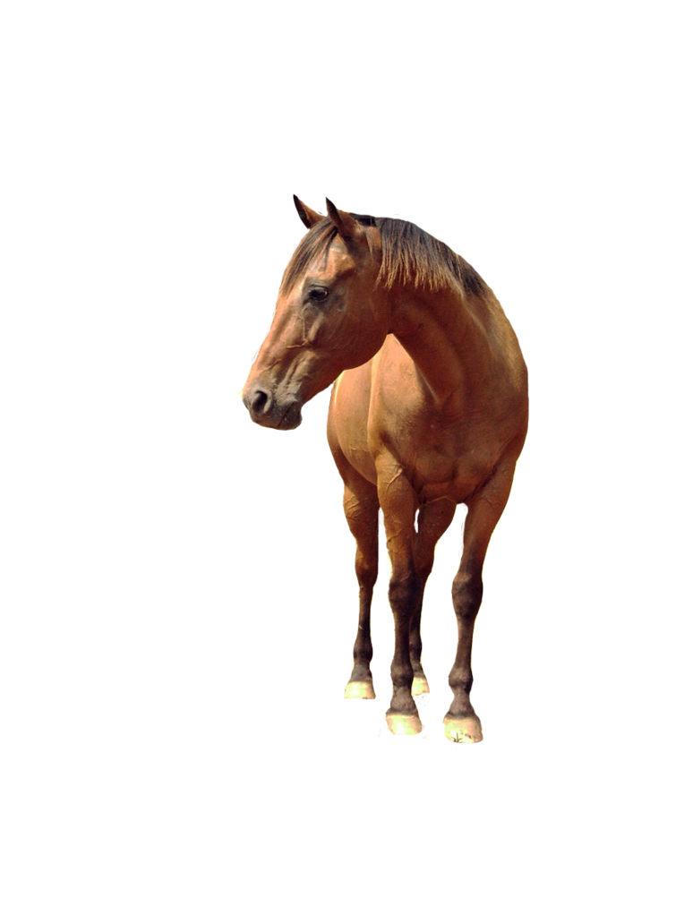 Horse png image free. Horses clipart front