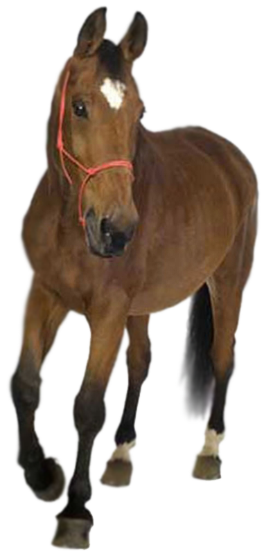 Horses clipart front. Horse png by captainjackharkness