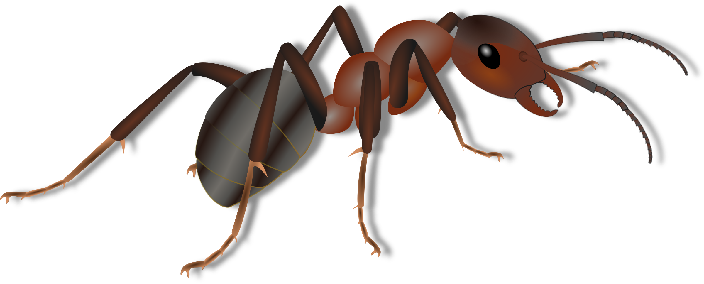 Ants transparent background free. Insects clipart brown ant