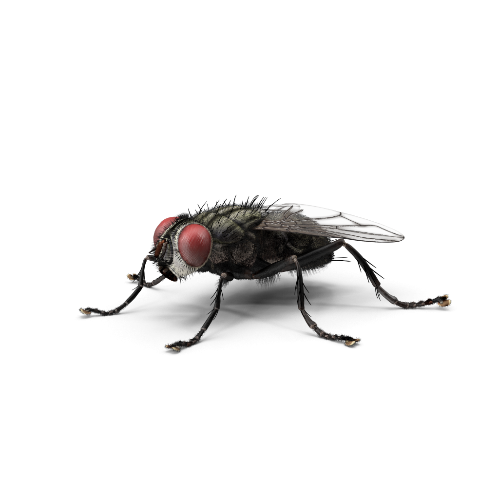 House fly png. Housefly insect green bottle