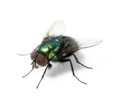 Flies transparent images pluspng. House fly png