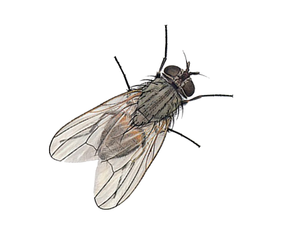 Flies ridpest . House fly png