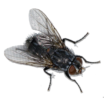 House fly png. Transparent images pluspng image