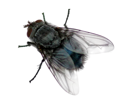 for free download. House fly png