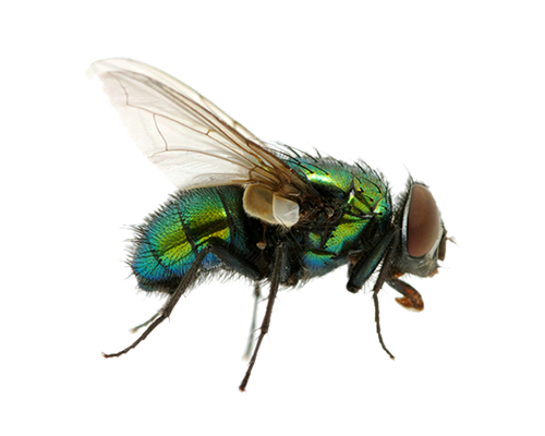 House fly png. Housefly vs battles wiki
