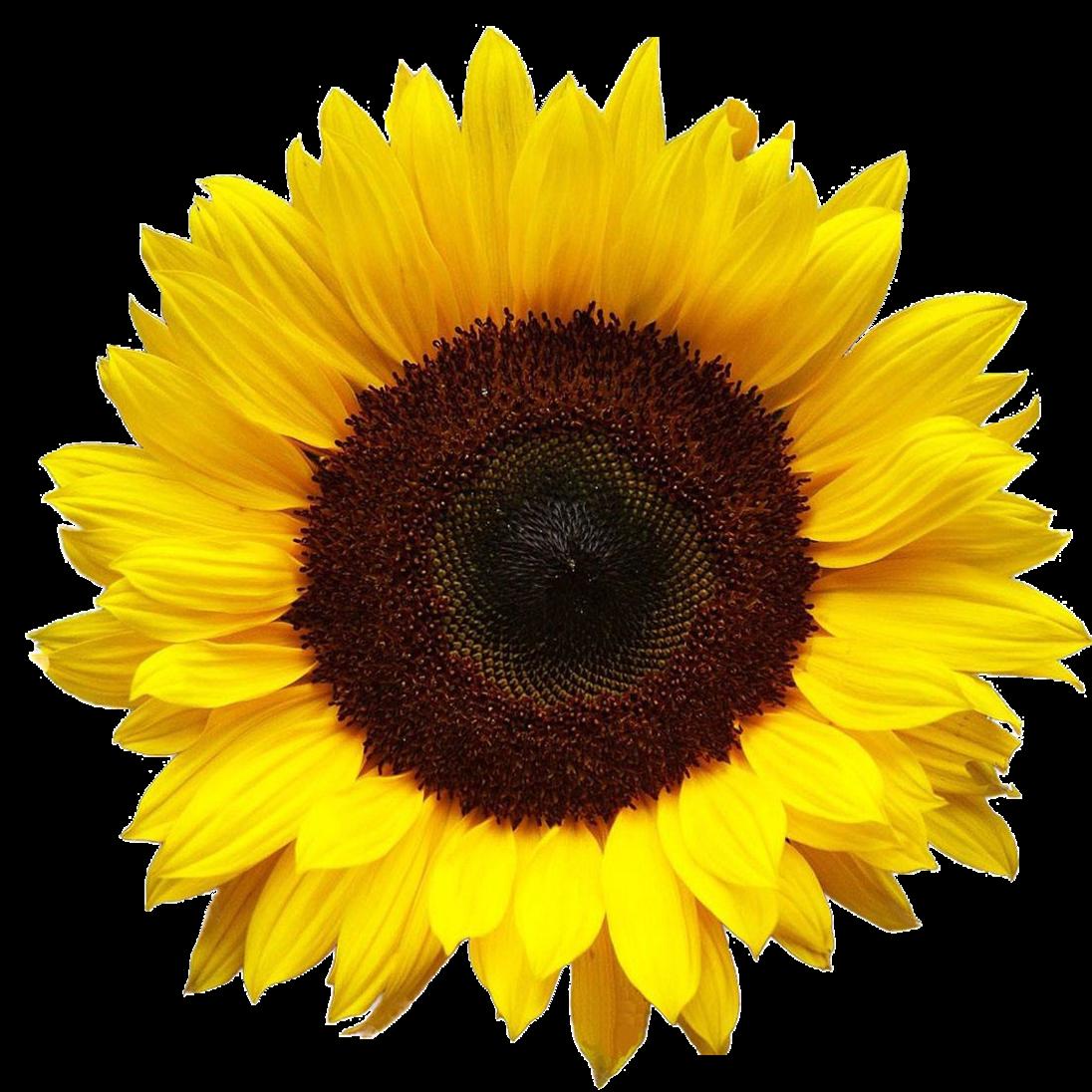 Sunflower pics qygjxz x. Sun flower png
