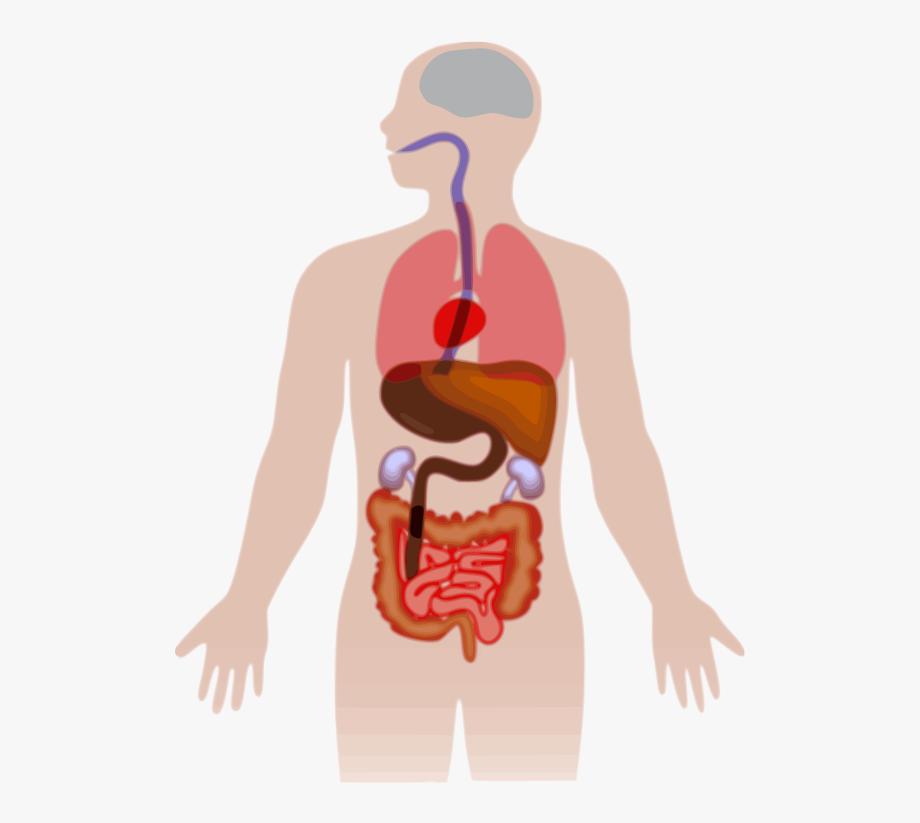 Human ribcage png . Humans clipart anatomical body