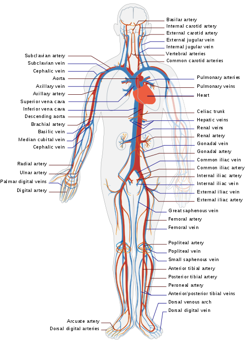 Circulatory system wikiwand the. Lungs clipart heart blood vessel