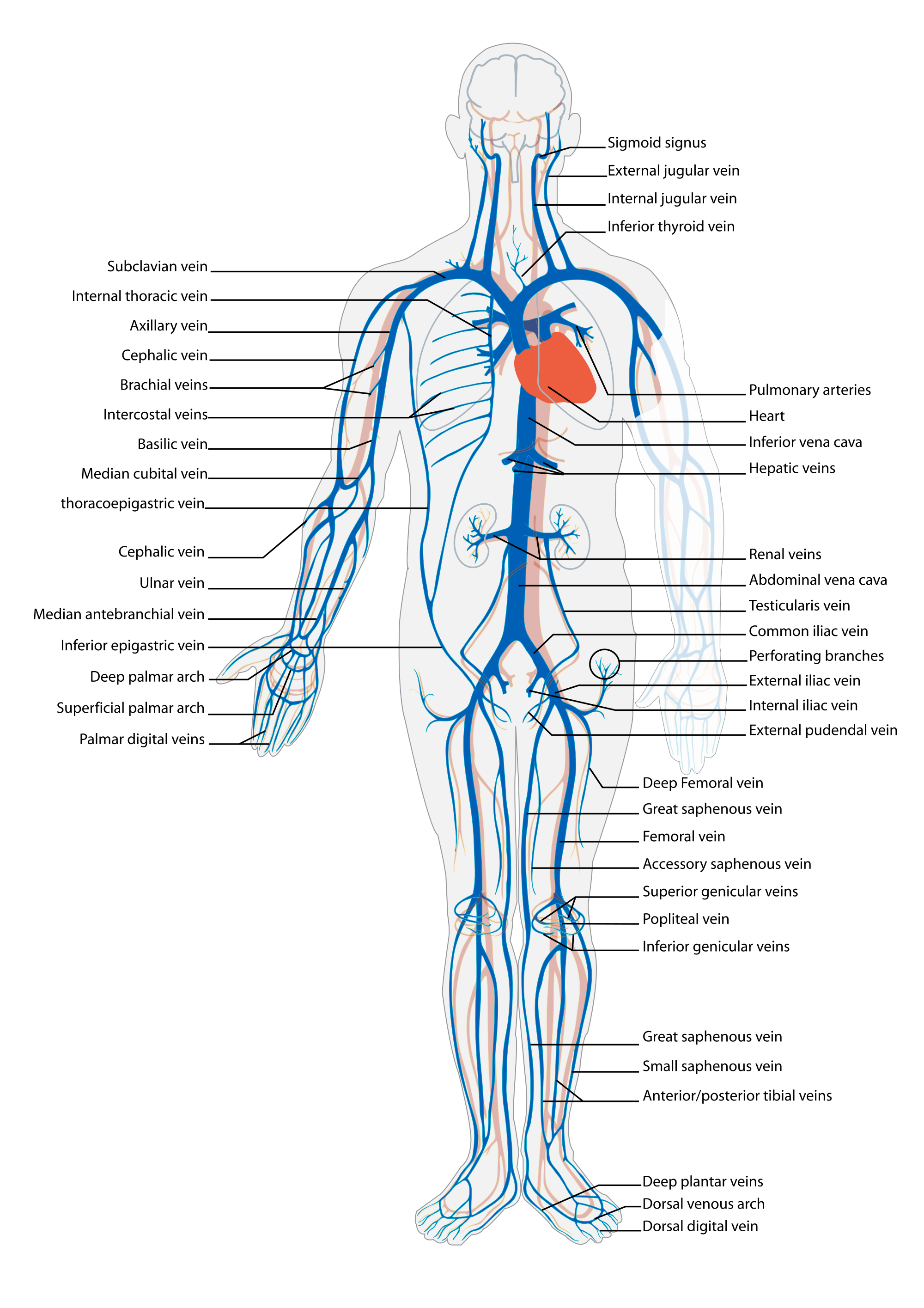 Luxury veins in human. Humans clipart anatomical body