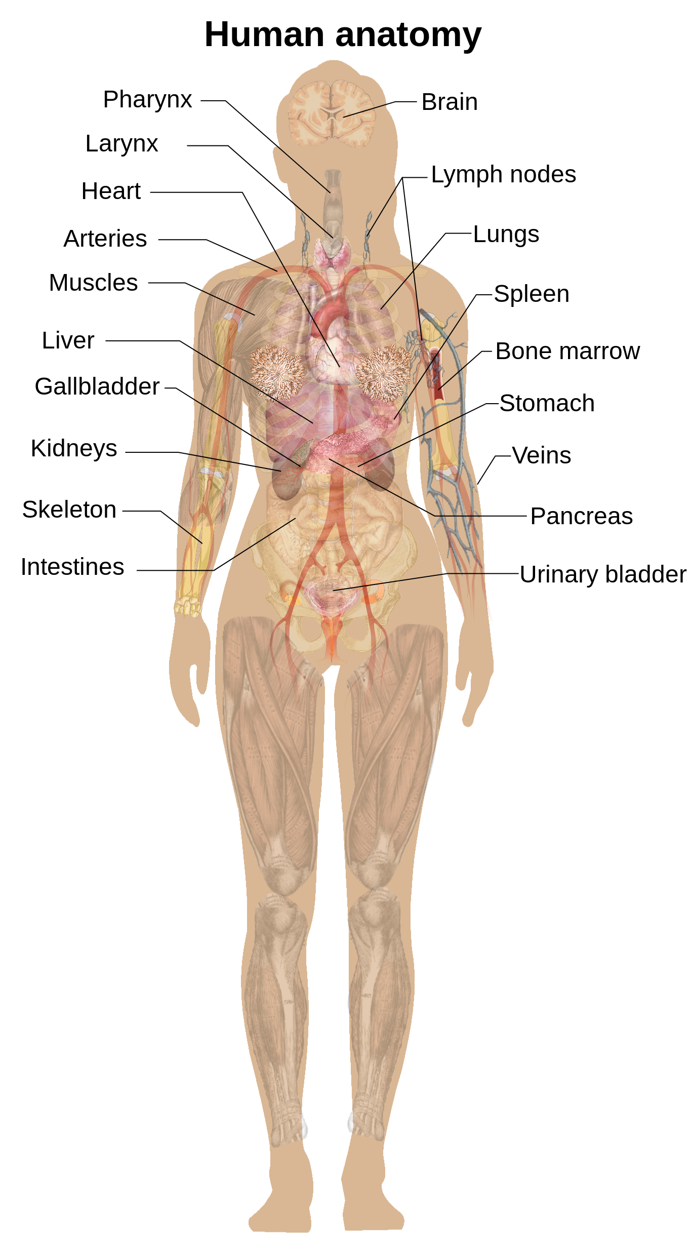 Incre ble anatomy female. Humans clipart anatomical body