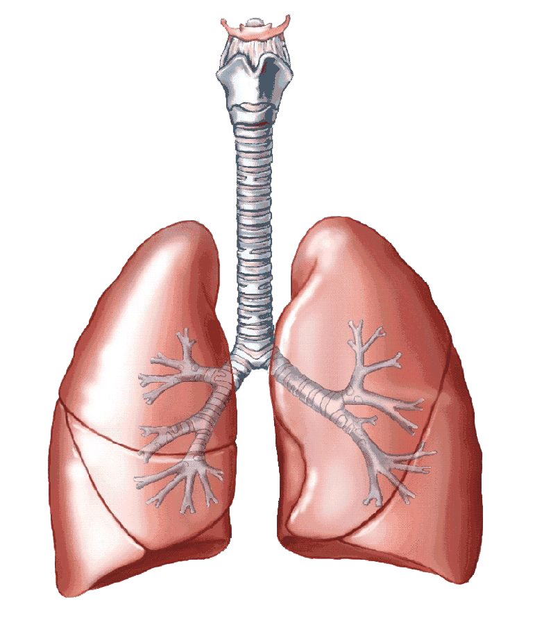 Muscle clipart transparent background. Lungs png images all