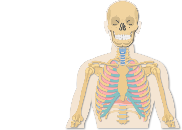 Introduction to lungs anatomy. Humans clipart ribcage