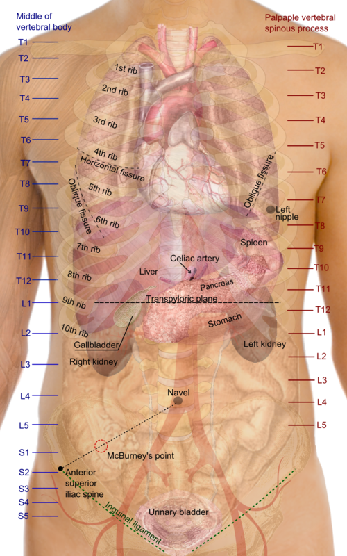 Xray clipart thorax. Wikiwand surface projections of