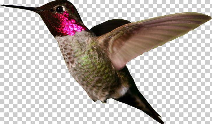 Anna s broad tailed. Hummingbird clipart anna's hummingbird