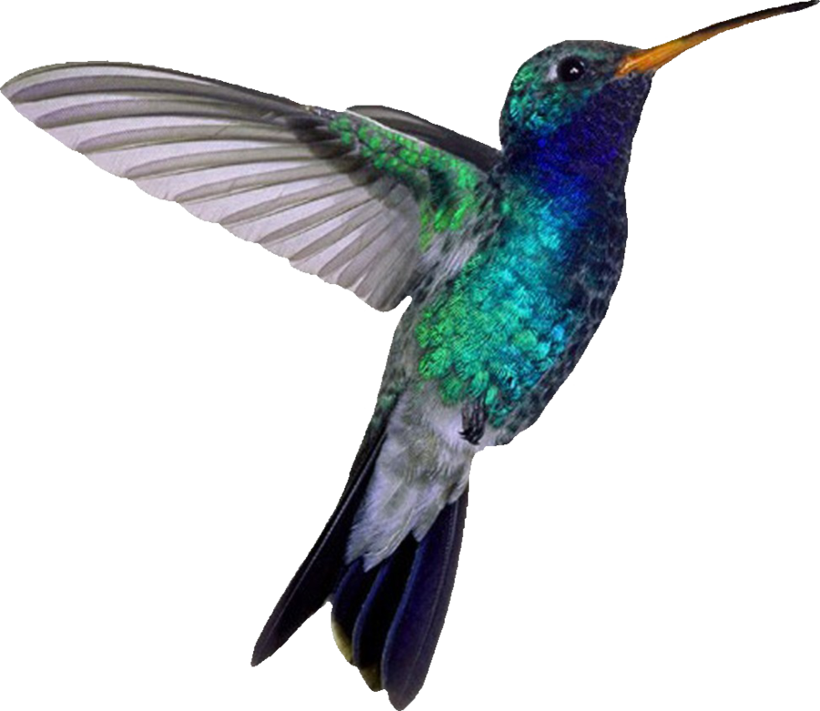 Png transparent images pluspng. Hummingbird clipart baby hummingbird