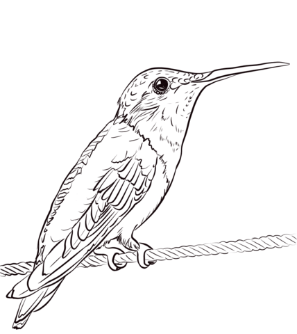 Hummingbird clipart coloring page. Ruby throated free printable