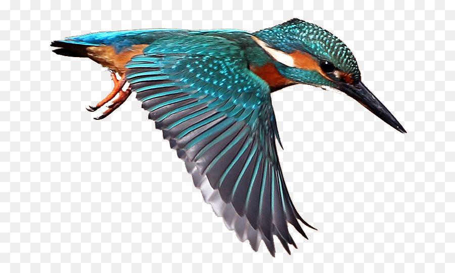 Drawing graphics bird . Hummingbird clipart kingfisher