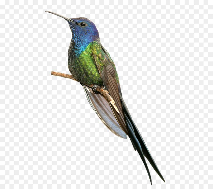Water cartoon bird feather. Hummingbird clipart kingfisher