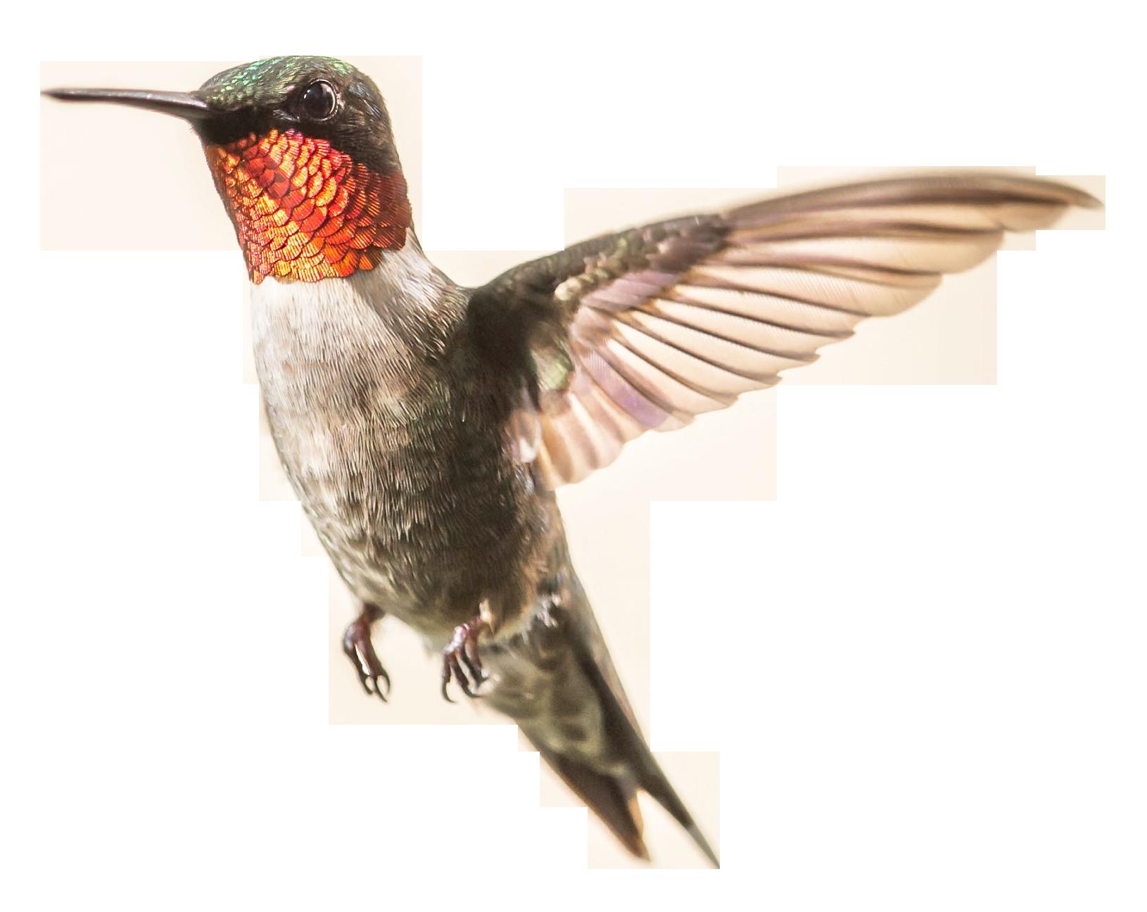 Hummingbird clipart real. Png image purepng free