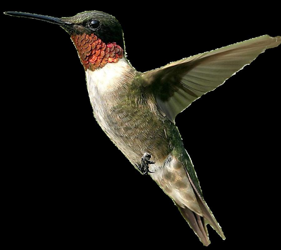 Hummingbird clipart ruby throated hummingbird. Birds icon web icons