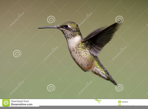 Hummingbird clipart ruby throated hummingbird. Free images at clker