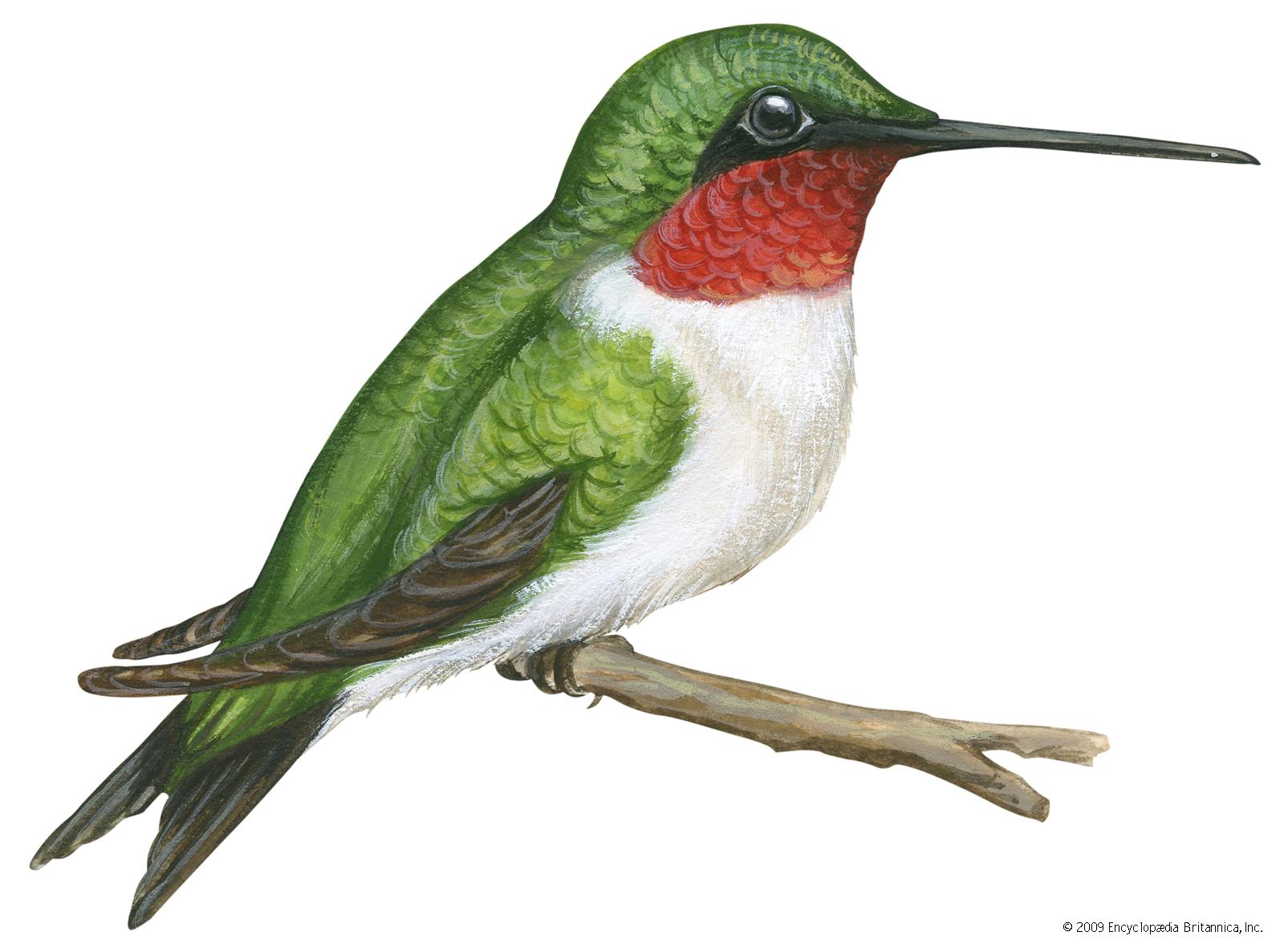 Bird britannica com . Hummingbird clipart ruby throated hummingbird