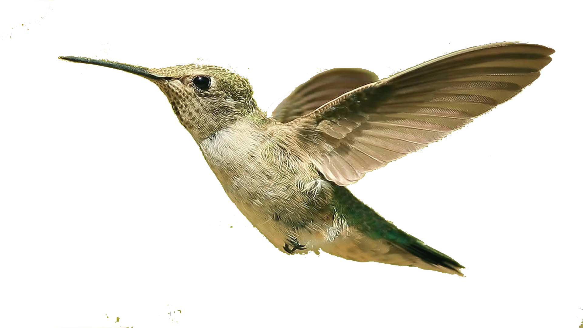 Hummingbird clipart two. Birds png images free